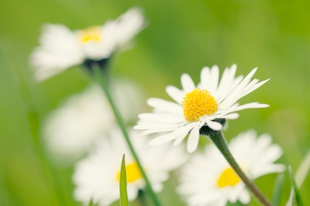 Camomile flowers in a meadow