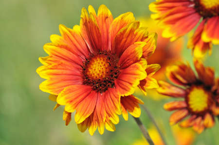 Closeup from cockade flowers (Gaillardia) photo