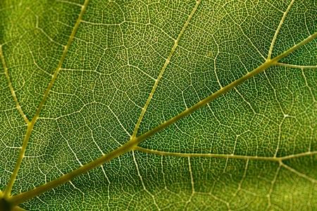 Green grape leaf macro shot Stock Photo - 9868674