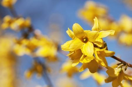 Schöne gelbe Blüten von Forsythie im Garten Standard-Bild - 19092707