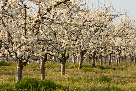 cherrytree: Beautiful blossoming cherry-tree garden, sunset light