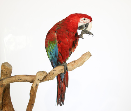 landed: Colorful parrot landed on branch, isolated on white, Red-and-green macaw Stock Photo