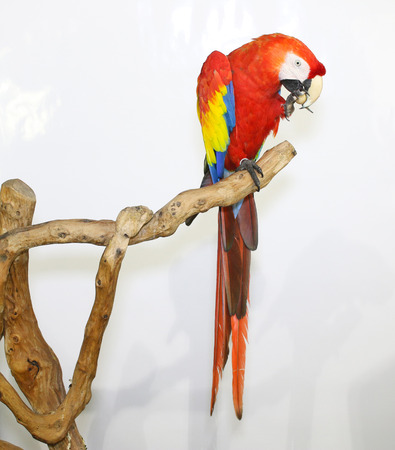landed: Colorful parrot landed on branch, isolated on white, Scarlet macaw Stock Photo