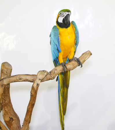 landed: Colorful parrot landed on branch, isolated on white, Blue-and-yellow macaw Stock Photo