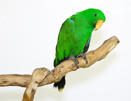 Colorful parrot landed on branch, isolated on white, Eclectus parrot