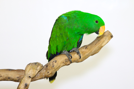 eclectus roratus: Colorful parrot landed on branch, isolated on white, Eclectus parrot