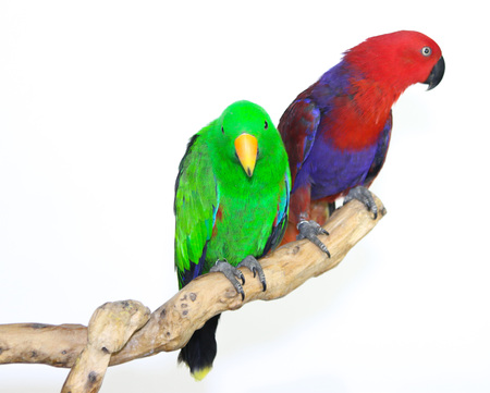 landed: Colorful parrot landed on branch, isolated on white, Eclectus parrot