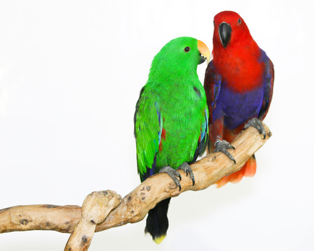 eclectus parrot: Colorful parrot landed on branch, isolated on white, Eclectus parrot