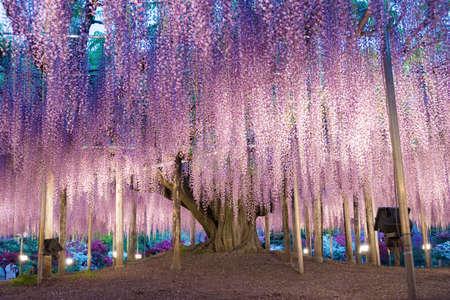 Wisteria trellis. great views of Japan