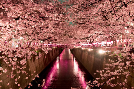 Cherry Blossoms at night in Tokyo
