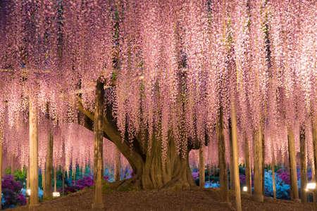 wistaria: Wisteria trellis. great views of Japan