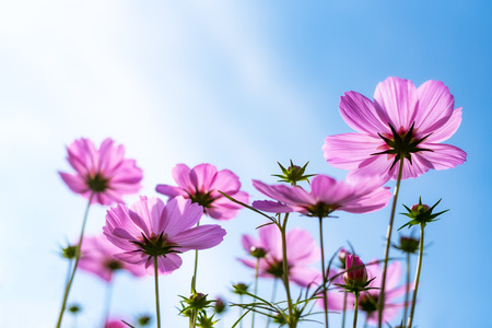 Beautiful scenery of cosmos flowers and buds with blue sky background