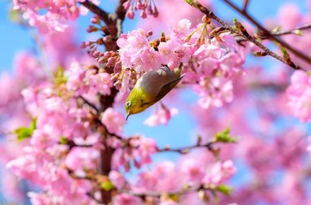 Pájaro de ojos blancos en flor de cerezo y sakura
