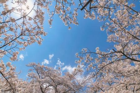 Sakura flower in the blue sky