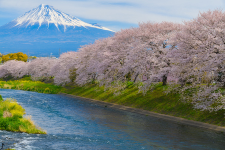Cherry blossoms and Mt.fuji in full bloom