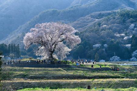 One cherry blossom tree