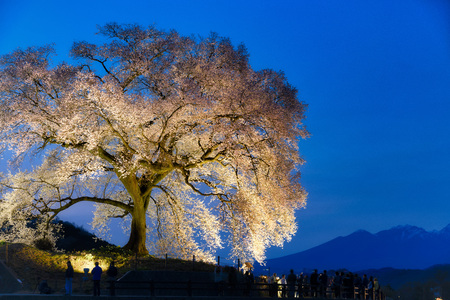 One cherry blossom tree