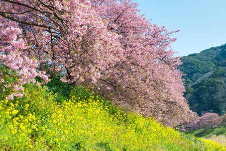 Flower Festival of cherry blossoms and Greens