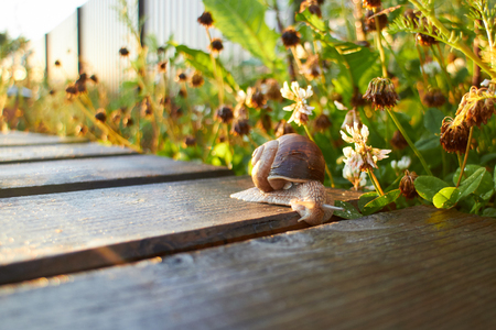 grape snail: Grape snail crawling along the path in the garden with the sunset, looks in the slot