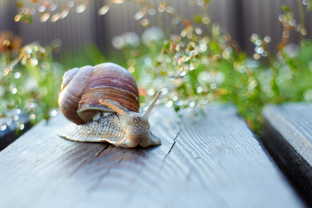 grape snail: Grape snail crawling along the path in the garden with the sunset Stock Photo