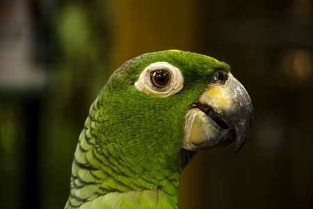 green lori parrot s head close-up