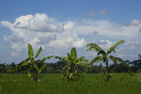 Rice field with banana trees  Bali, Indonesia