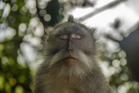 Relaxed sleeping meditating monkey