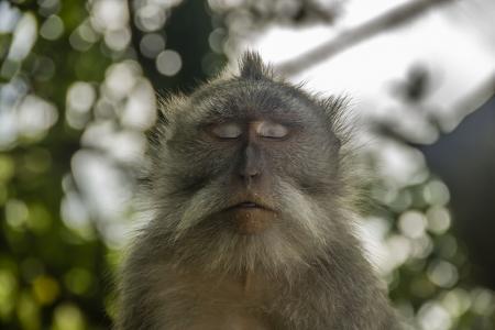 Relaxed sleeping meditating monkey Stock Photo - 16947374