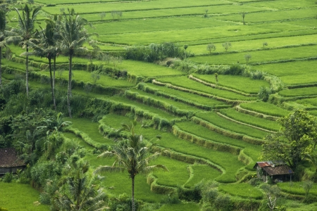 Rice terraces in Bali, Indonesia Stock Photo - 16947406