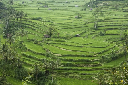 Rice terraces in Bali, Indonesia Stock Photo