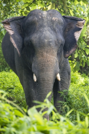 Asian elephant in the wild - front portrait  Thailand  Stock Photo - 17239829