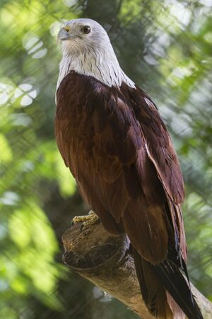 White head eagle sitting on a branch Stock Photo - 17239845