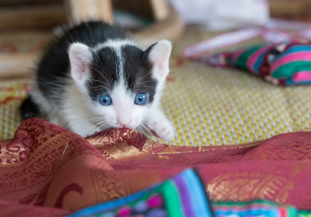 Blue eyes kitten playing with ethnic colored clothes. Stock Photo