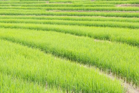 Jasmin rice field in Northern Thailand, Mae Chaem. photo