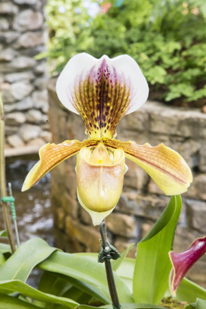 Lady Slipper Orchid growing in the garden. Thailand. photo