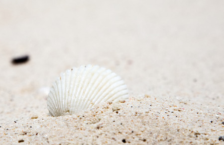 A white shell on the white sand closup