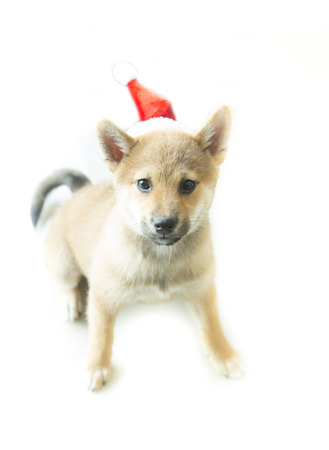 shiba inu puppy with Christmas hat