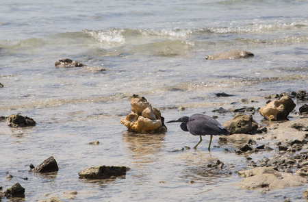 Grace Black Heron hunting on the beach