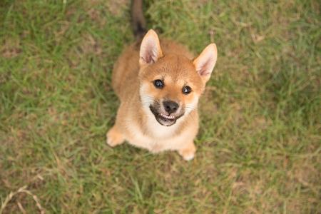 Smiling shiba inu puppy on the gras