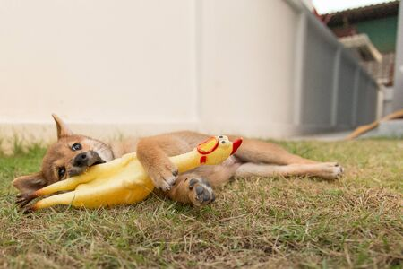 Puppy laying on the grass with a chicken toy Stock Photo