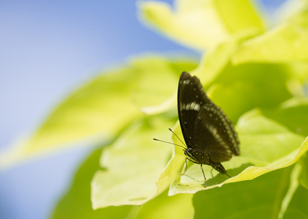 A black butterfly sitting on the light green leaf Banco de Imagens