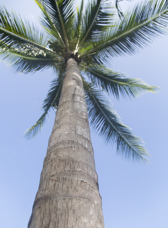 Coconut palm tree - shot from the bottom