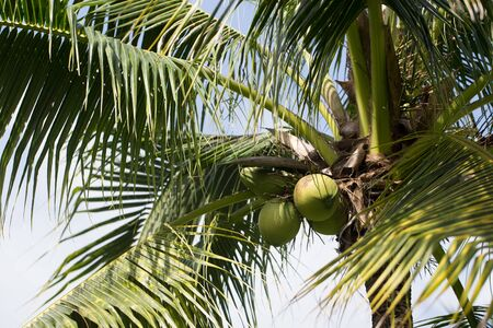 Coconut tree with fruits growing close up