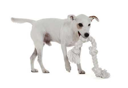 Jack Russell Terrier playing with biting rope photo