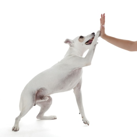 Jack Russell Terrier dog high five with female hand on white photo