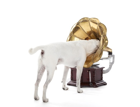 Jack Russell Terrier searching in gramophone horn Stock Photo
