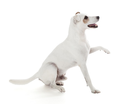 paw russell: Jack Russell Terrier gives a paw isolated on white Stock Photo
