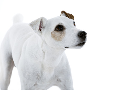 Jack Russell Terrier looking to the right side Stock Photo