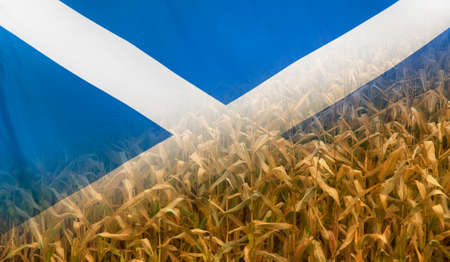 merged: Nutrition food concept corn field in sunny afternoon light merged with fabric flag of Scotland