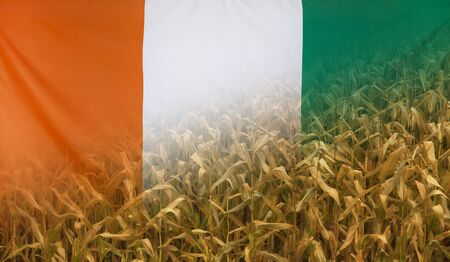 merged: Nutrition food concept corn field in sunny afternoon light merged with fabric flag of Ivory Coast Stock Photo